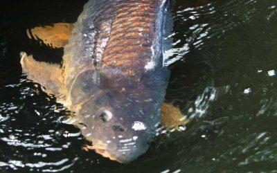 23 Karpervissen Tips: Beter, efficiënter en nog leuker op karper vissen