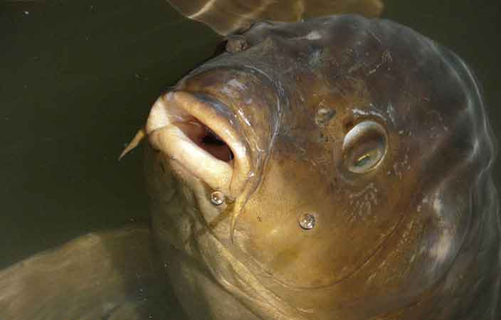 7 handige tips om te gaan oppervlakte vissen op karper