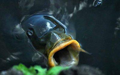 Oppervlakte vissen op karper tussen het wier; 4 handige tips!