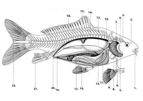 anatomie karper