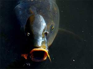 drijvend vissen